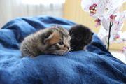 Wunderschöne bkh scottisch fold Babys