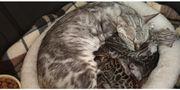 Bengal Kitten in silber und