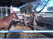Reitbeteiligung auf zierlicher Ponystute zu