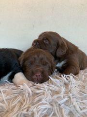 Labrador Australien Shepherd Aussidor