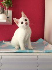 2 Maine-Coon Perser Mix Kitten
