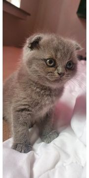Scottish fold blue Kitty