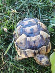 Landschildkröten-Babies und auch erwachsene Tiere
