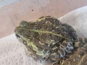 Afrikanischer Grabfrosch Pyxicephalus adspersus