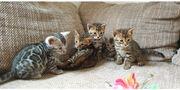Bengal Kitten in braun