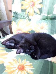 2 schwarze Katzenkinder 11 Wochen