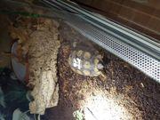 Kinixys spekii Spekes Gelenkschildkröte 10