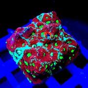 Tägliches Korallenupdate - Meerwasser SPS LPS