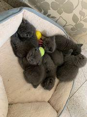 BKH Kitten in Blue Weibchen