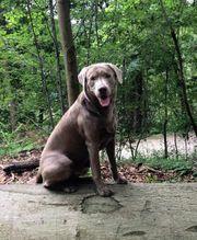 Deckrüde Labrador silber mit Stammbaum