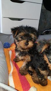 2 süße Yorkshire Terrier Welpen