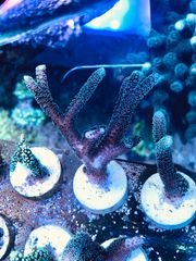 Koralle Seriatopora caliendrum Mint Meerwasser