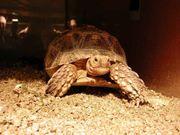 Sporenschildkröte Weiblich 4 Jahre