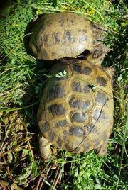 Steppenschildkröten Zuchtgruppe 3 Weibchen 1