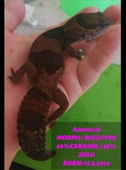 african fat tail gecko 1
