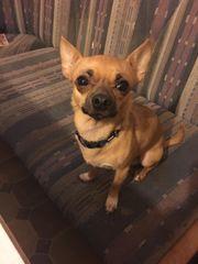 Mein Chihuahua Rüde Lacky sucht