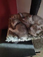 bkh Baby Kätzchen