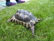 Breitrandschildkröten