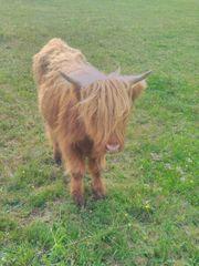 Highland Cattel