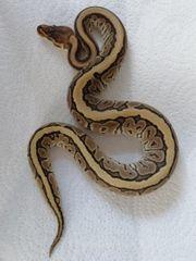 2 Königspython Weibchen abzugeben