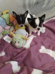 Zwei Chihuahua Welpen suchen jetzt