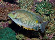 Meerwasser Siganus lineatusGoldfleck-Kaninchenfisch6-7cm Nz