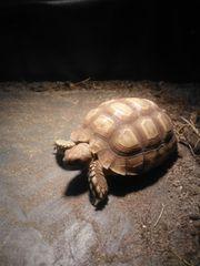 Spornschildkröten Pärchen Sulcata
