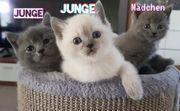 Schöne BKH Kitten suchen ein