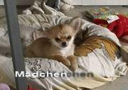 Chihuahua Mädchen suchen noch ein