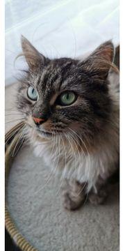 Norwegische Waldkatze sucht dringend ein