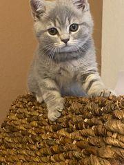 Britische Kurzhaar kitte