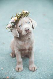 Wunderschöne Labradorwelpen mit Ahnentafel