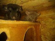 Chinchilla männlich und weiblich Jungtiere