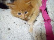 Maine Coon Katzenbaby weiblich reinrassig