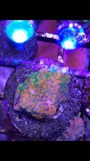 Meerwasser Montipora goldrush