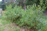 samenechte einheimische vierjährige Pfirsich-Bäume leckere
