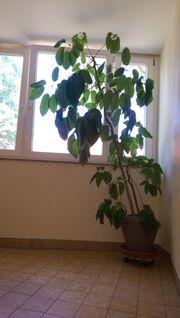 Schefflera-Pflanze