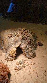 Halsbandleguane Crotaphytus Collaris Nachzuchten