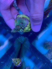 Meerwasser Aquarium Koralle Acropora Tenuis