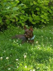 Schoko Chihuahua Rüde mit Ahnenpass