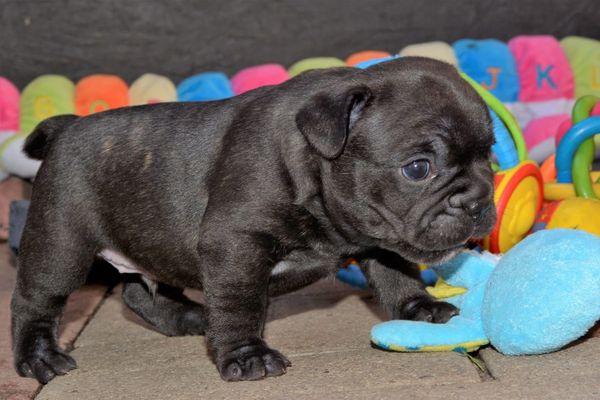 Freiatmige Französische Bulldogge Welpen Blue