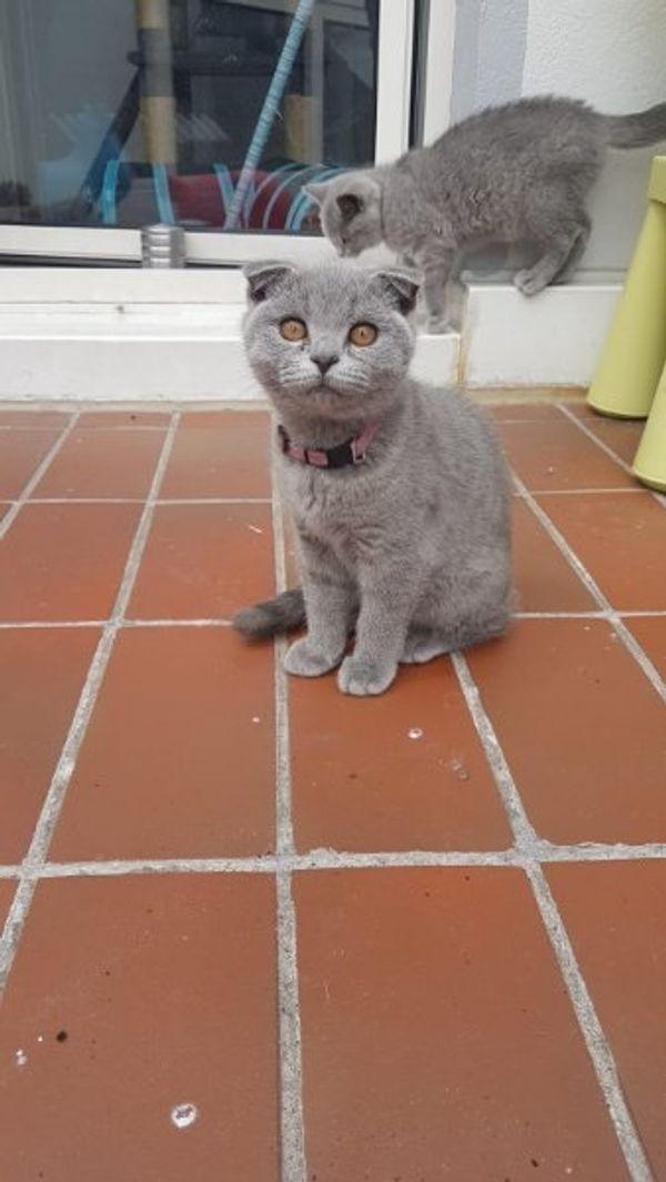 BKH Scottishfold Kitten
