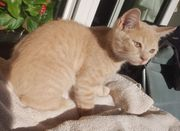 BKH Kitten Kater abgabebereit creme