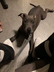 American staffordshire Terrier mix Welpe