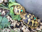 Griechische Landschildkröten t h b
