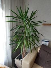 Yucca Palme ca 2 10