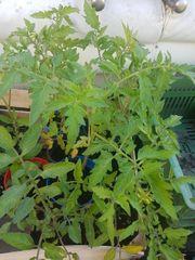 Tomatenpflanzen Bio