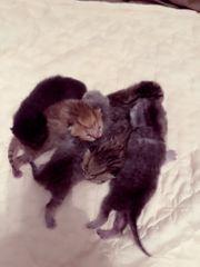 BKH Kätzchen Reinrassiger