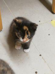 Süße Katzenkitten Mädchen abzugeben