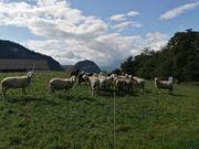 20 Bio Schafe Muttertiere